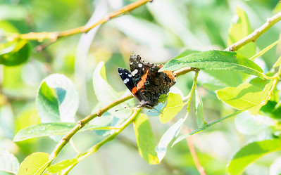 A Beautiful Red, White, and Black, Admiral Butterfly (Vanessa atalanta) Perched on Green Vegetation in Northern Colorado