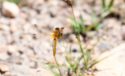 Cherry-faced Meadowhawk (Sympetrum internum) Perched on a Leaf in Eastern Colorado