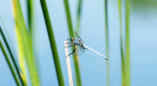 Eastern Pondhawk Dragonfly (Erythemis simplicicollis) Perched on a Twig Over Water with Reeds in the Background in Northern Colorado
