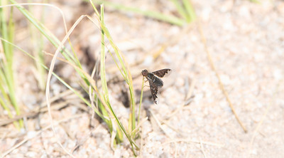 A Brown Bee Fly (Family Bombyliidae) with Beautiful Wings Perched on Vegetation in Northern Colorado
