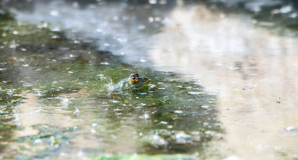 American Bullfrog (Lithobates catesbeianus) Perched in a Small Pond with Only His Big Eyes Sticking out of the Water in Colorado