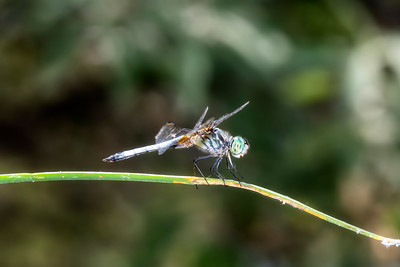 Blue Dasher Dragonfly (Pachydiplax longipennis) Perched on a Stalk of Vegetation in Northern Colorado