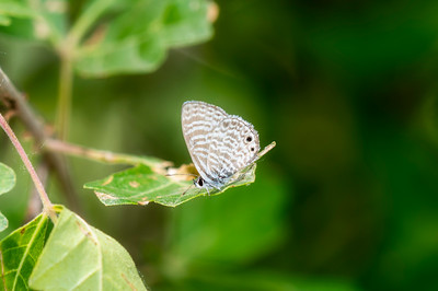 Marine Blue Butterfly (Leptotes marina) Perched on a Green Leaf in Eastern Colorado
