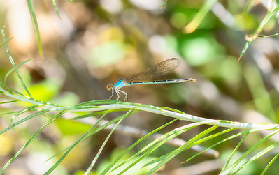 Blue-fronted Dancer (Argia apicalis) Perched on a Stalk of Vegetation in Northern Colorado