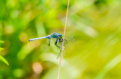 Eastern Pondhawk Dragonfly (Erythemis simplicicollis) Perched on a Twig Eating a Damselfly in Northern Colorado