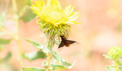 A Bee Fly in the Clutches of a Crab Spider Hanging from a Bright Yellow Flower in Northern Colorado crab spider lar aug 2019.jpg
