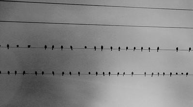 birds lines