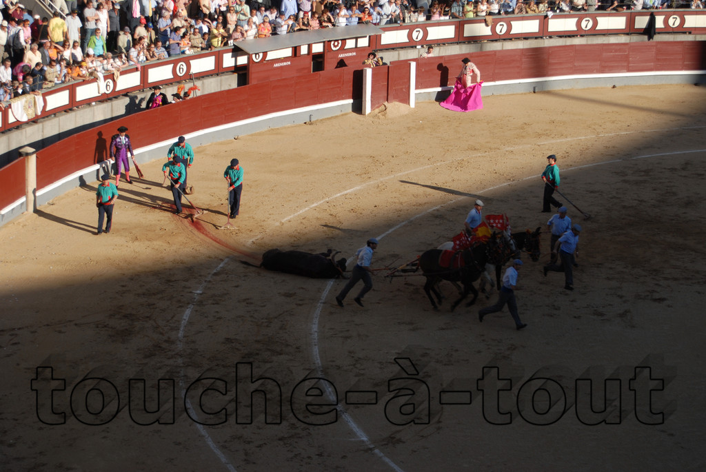 Bull carcass being removed from bullfight