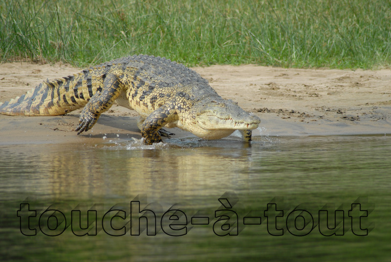 Crocodile by the River Nile, Murchison Falls National Park, Uganda