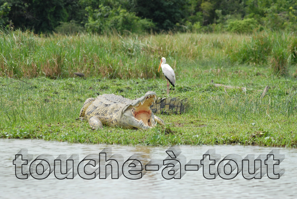 Crocodile with a bird on the banks of the River Nile, Murchison Falls National Park, Uganda