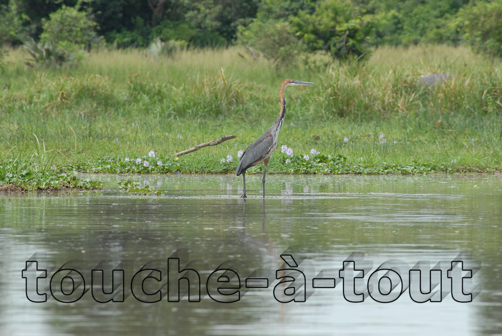 Purple Heron on River Nile, Murchison Falls National Park, Uganda