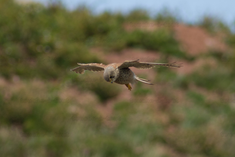 Kestrel hovering to hunt for prey on coast of Burgh Island, Devon
