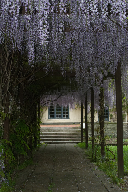 Wisteria at Holland Park