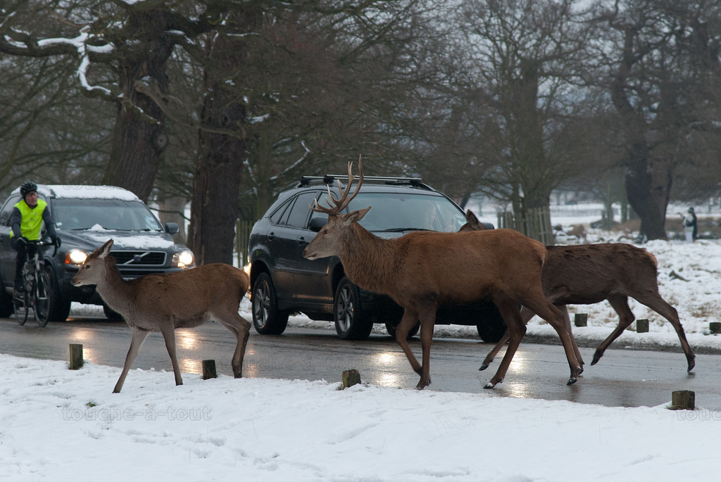 Deer holding up the traffic in Richmond Park