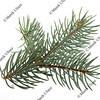 branch of Colorado silver spruce