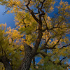 giant cottonwood tree with golden leaves