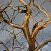 dead cottonwood tree