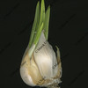 Bulb of garlic starting to grow