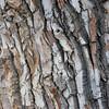 texture of old cottonwood tree