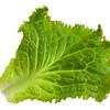 green leaf of lettuce