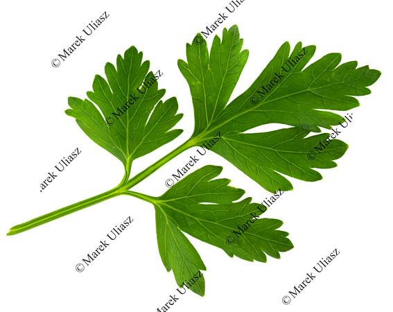 parsley green leaf