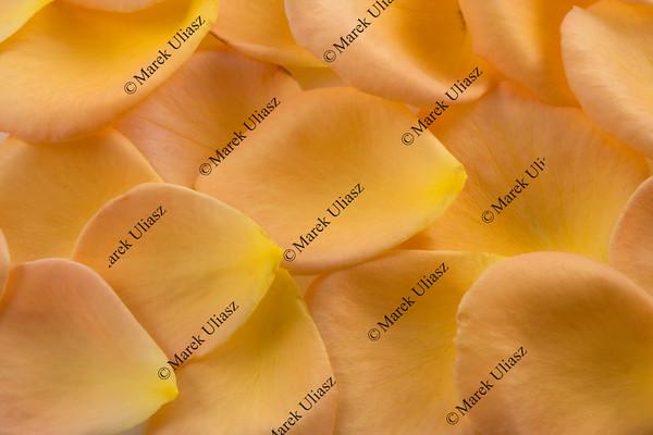 orange and yellow rose petal texture