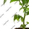 new tomato plant in biodegradable peatpot