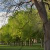 Alley of old American elm trees in spring