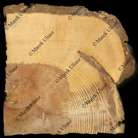 pine tree rings growing around fire scar