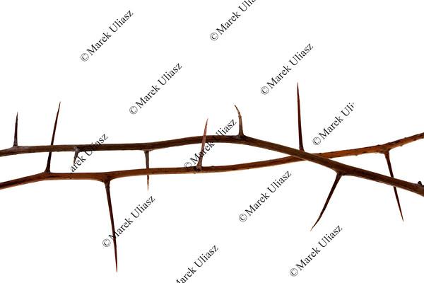 two thorny tree twigs