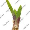 leaves and rhizomes of ornamental iris