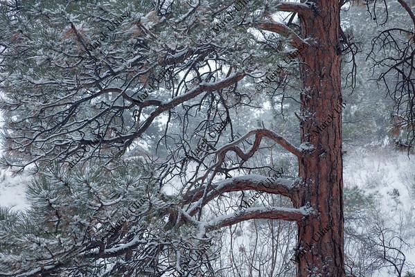 pine tree in falling snow