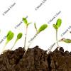 lettuce seeds germinating
