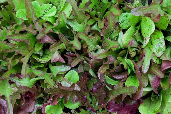 baby lettuce background