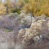 rabbitbrush and cottonwood