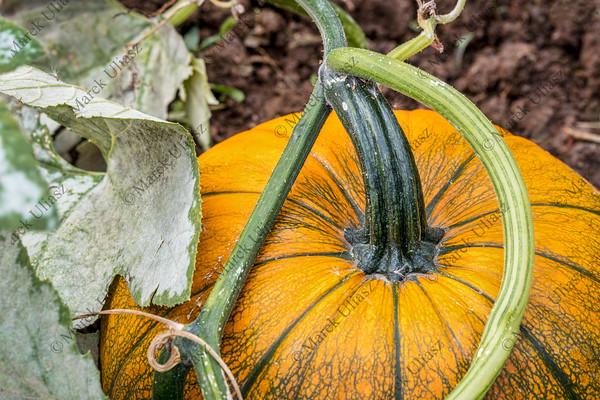 pumpkin growing a in garden