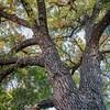 Giant cottonwood tree with fall foliage