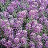 background of flowering labularia shrub