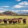 Open range cattle in Colorado