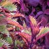 Henna coleus ornamental foliage