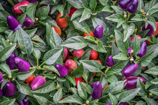 hot loco pepper in garden