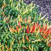 basket of fire pepper
