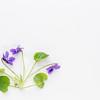 fresh viola flowers on art canvas