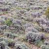 sagebrush, wildflowers and other shrubs