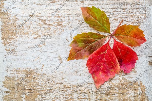 vine leaf in fall colors against wood