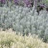 lavandula (lavender) foliage background