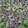 background of burgundy petunia flowers