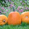 pumpkins in backyard