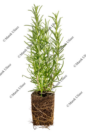 rnew rosemary plant with roots