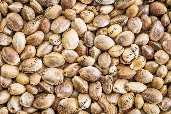 hemp seed life size macro